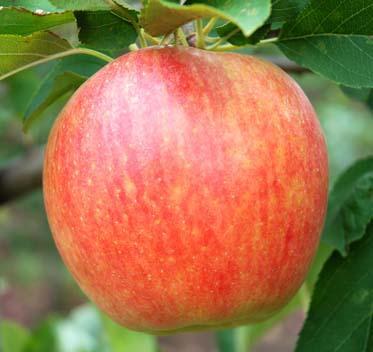сорт яблок спартан фото и описание