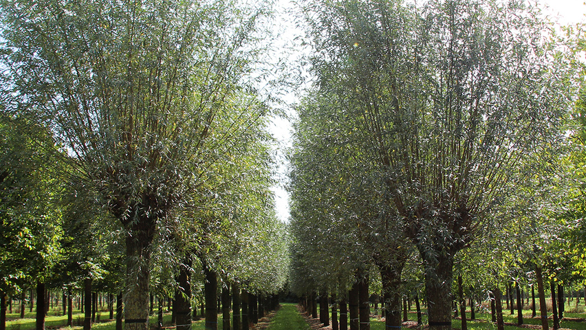 salix black singles Plant guide black willow salix nigra marsh plant symbol = sani  contributed by: usda nrcs plant materials center, manhattan, kansas & kansas state university, forestry.